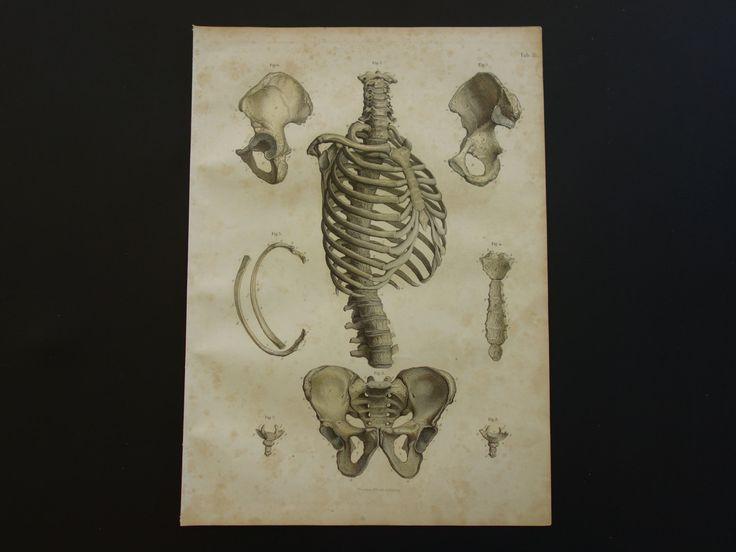 150+ years old anatomical engraving - original antique anatomy print of chest ribcage bones pelvis brustkorb becken ribbenkast 25x35c 10x14 by DecorativePrints on Etsy