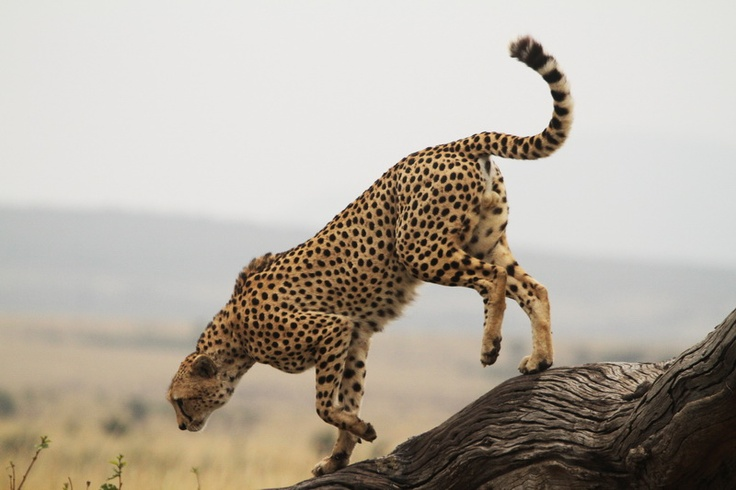 A #cheetah searches for prey during the #Great #Migration in the #Masai #Mara in the #Serengeti ecosystem. Just part of our new tour #Kenya: The Great Migration