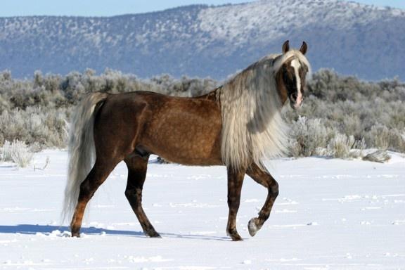 chocolate palomino Morgan horse