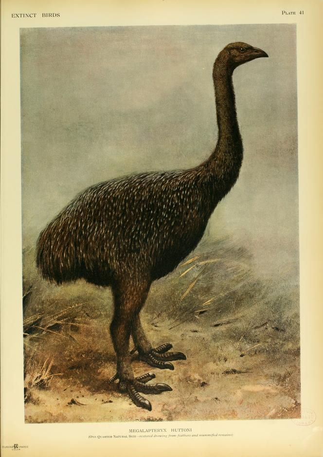 Upland moa, Extinct Birds: An attempt to unite in one volume a short account of those birds which have become extinct in historical times, Lionel Walter Rothschild, 1907.