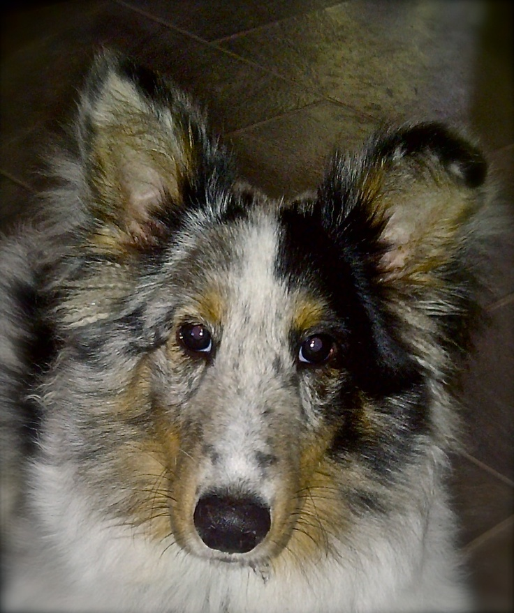 NORM!!! - my blue merle sheltie .....