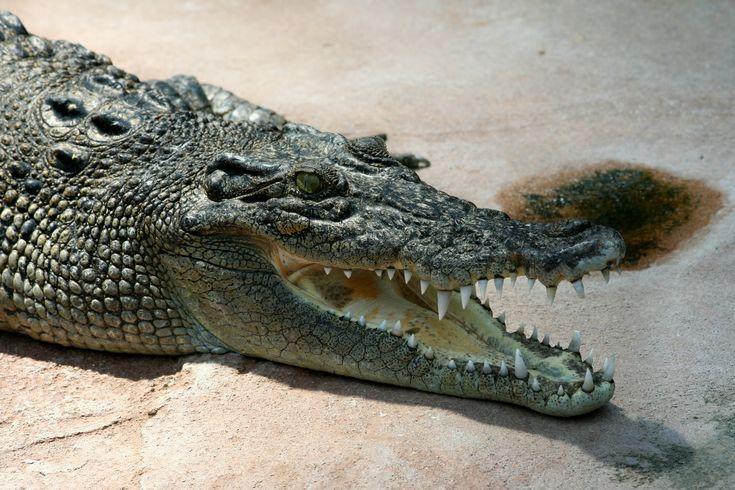 El cocodrilo marino, de agua salada, cocodrilo de estuario, cocodrilo poroso o de mar (Crocodylus porosus http://es.wikipedia.org/wiki/Crocodylus_porosus ) es una especie de saurópsido (reptil) crocodilio de la familia Crocodylidae. Es el cocodrilo de mayor tamaño del mundo y el mayor reptil del planeta. Las principales poblaciones habitan zonas pantanosas desde el sudeste asiático hasta el norte de Australia.