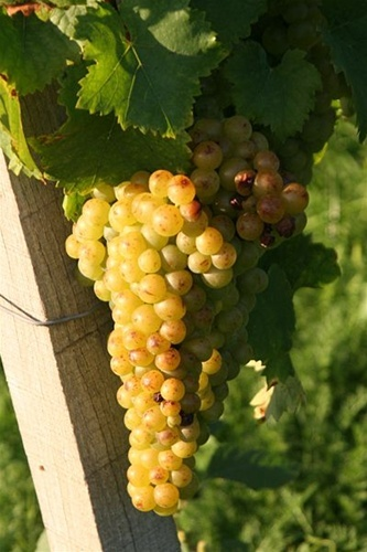 Moscato grapes for Moscato D' Asti, also the only wine you will ever see me drink or enjoy <3