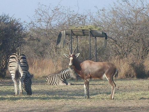 Hartebeest with zebras