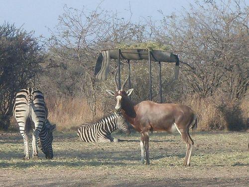Hartebeest with zebras