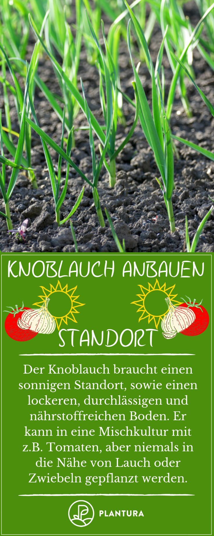 Tomaten Lieben Einen Geschutzten Standort An Dem Sie Genug Licht Und Warme Bekommen Wenn Dann Die Blatter Und Bluten Auch Garten Mischkultur Natur