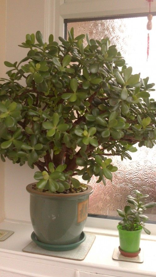 Indoor House Plants With Names And Pictures Money Tree 400 x 300