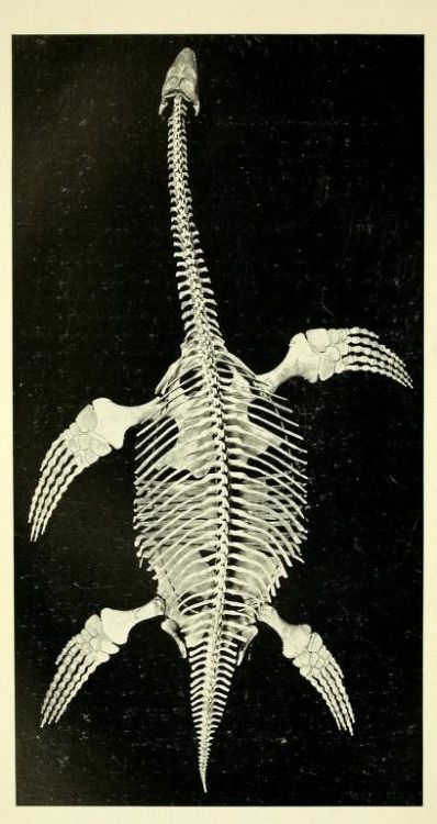 Pterosaur. Exchange from the British Museum, 1902. Annual report of the American Museum of Natural History for the year 1909. Issued 1910.
