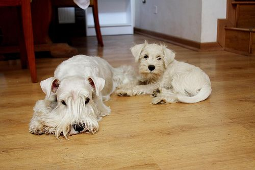 How to keep your dogs white fur free of stains! Great article about dealing with the root causes!