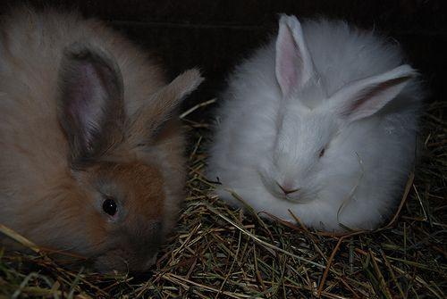 Popcorn and Frosty, French Angora rabbits via vjmarisphotos