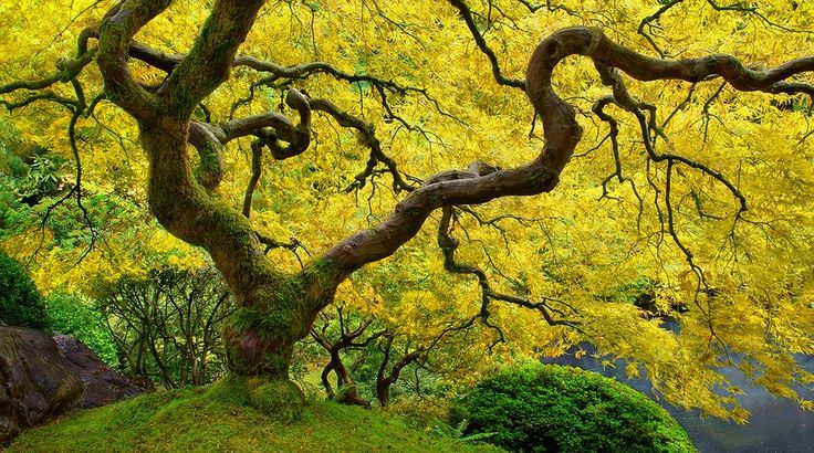 Yellow Leaves On Chinese Maple Tree By Craig Bill
