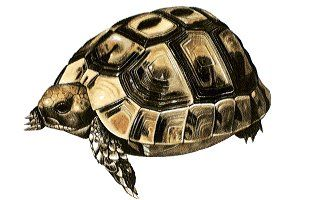 Tortoise Trust Web - AVAILABILITY OF TORTOISES AS PETS (UK Only)