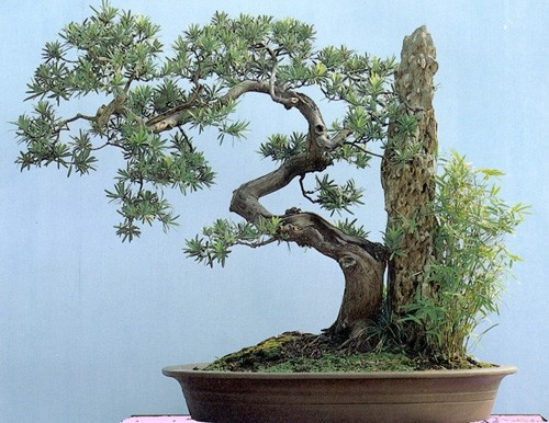 vietnamese bonsai trees. #bonsai