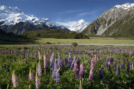 Lupins and Mount Cook, Mount Cook Village, Mount Cook National Park Photographic Print by Stuart Black at AllPosters.com