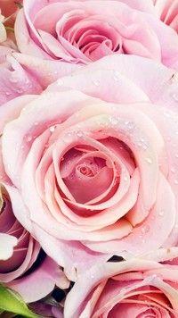 Rozwinięte różowe róże w kroplach rosy