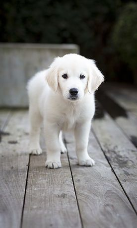 English Cream Golden Retriever Puppy #goldenretrievers #pets http://www.nojigoji.com.au/