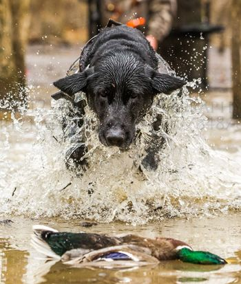 Gun Dog Training Tips: How to Correct Bad Behavior in the Blind