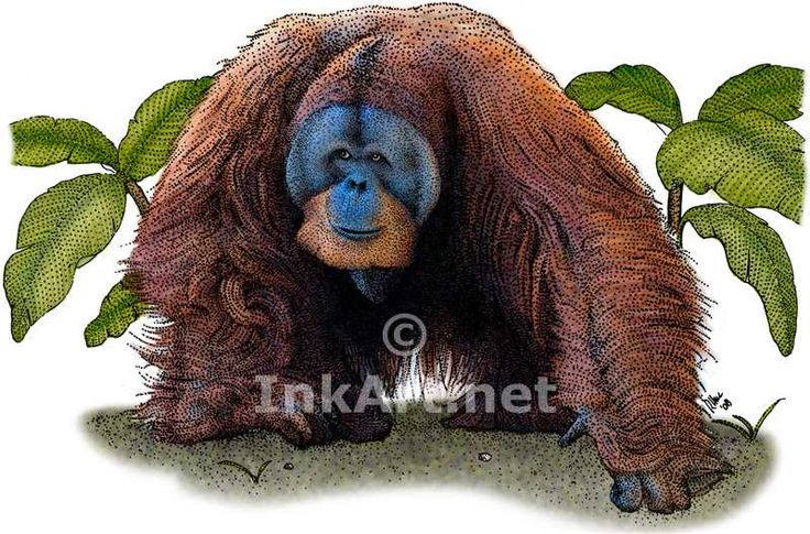 Full color illustration of a Sumatran Orangutan (Pongo abelii)