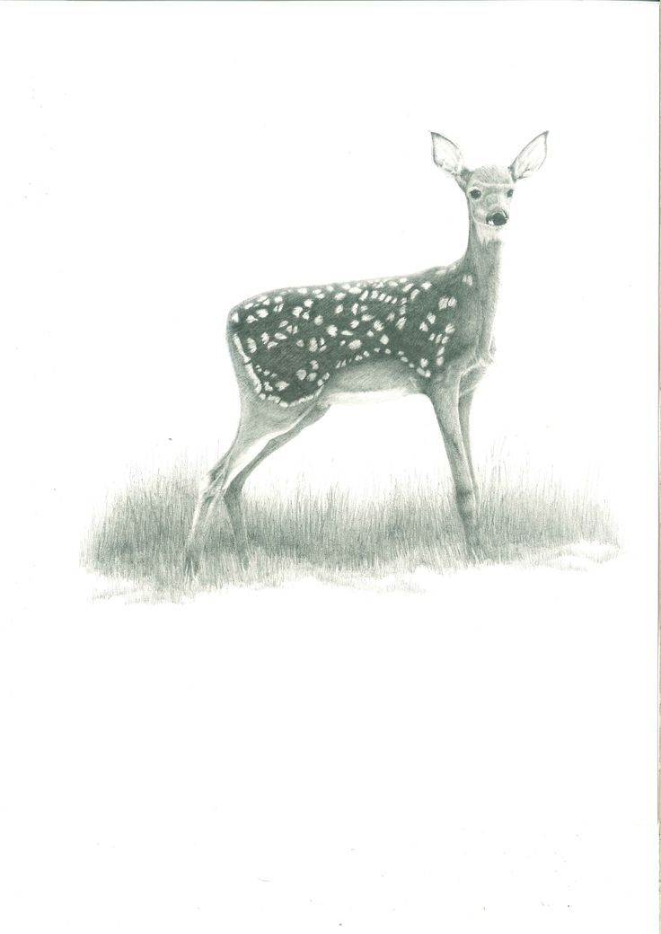 young deer pencil drawing