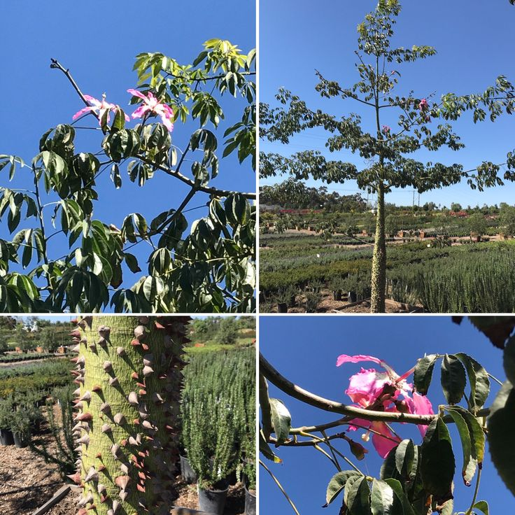 25 best trees images on pinterest fruit trees gardening and plants floss silk tree is starting to bloom lovely check those spines on the trunk mightylinksfo