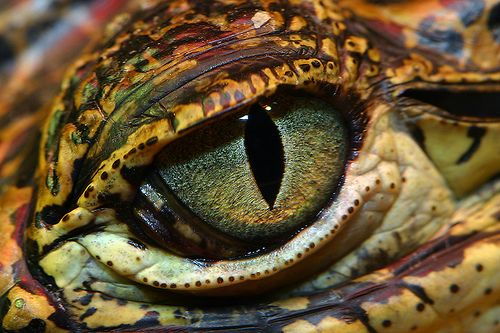 Cuban Crocodile's Eye