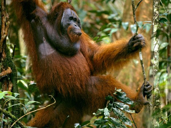 "[Protected Status: ENDANGERED] The Malay word orangutan means ""person of the forest."" These long-haired, orangish primates, found only in Sumatra and Borneo, are highly intelligent and are close relatives of humans."