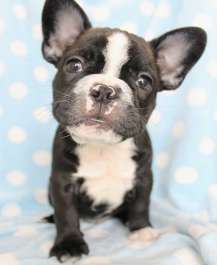 French Bulldog Puppy For Sale South Florida