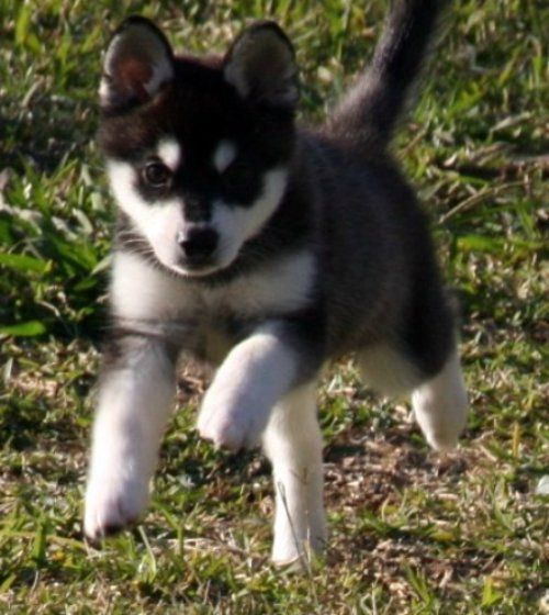its a mini husky! and it stays small forever. I feel like I need this dog, she is so freaking adorable!!!
