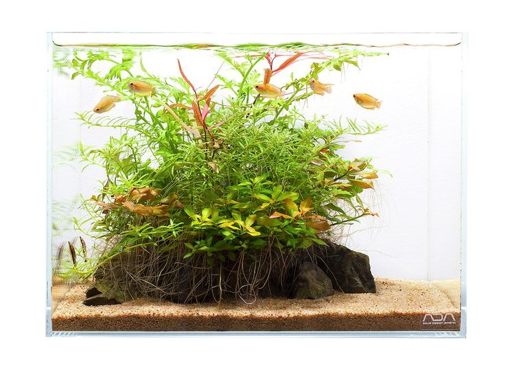Aquarium Design Group - Honey Gourami setup