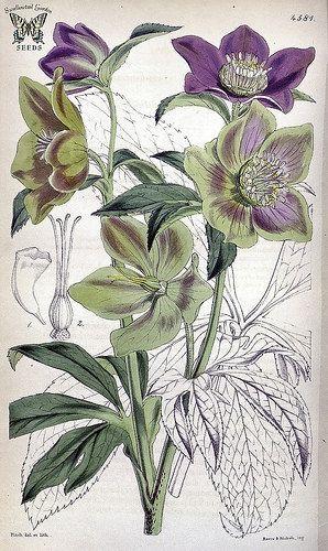 Helleborus dumetorum. Illustration by Walter Hood Fitch (1851)