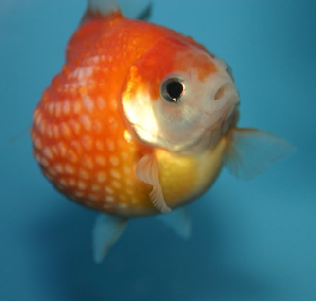 82 best aghs acute goldfish hoarding syndrome images on for Best fish to have as pets