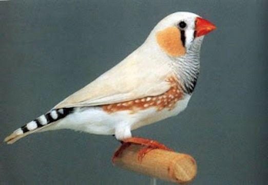 Los pájaros también se sonrojan. El canario diamante mandarín | Mascotas