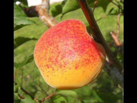 1000 id es sur le th me taille arbre fruitier sur for La taille de l abricotier