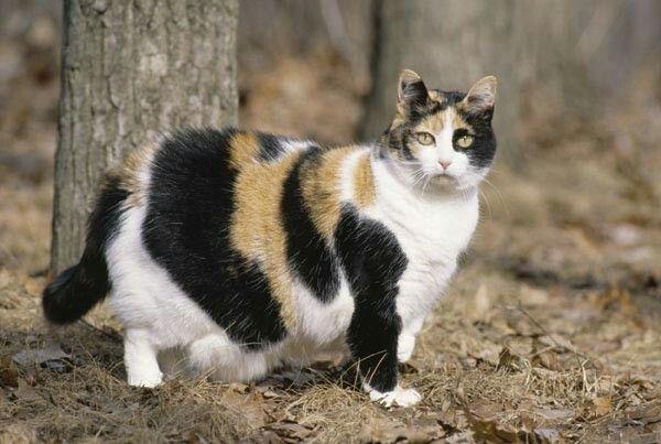 bengal cat adoption california