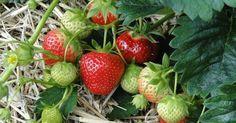Las mejores fresas o frutillas serán las que cultivemos en casa