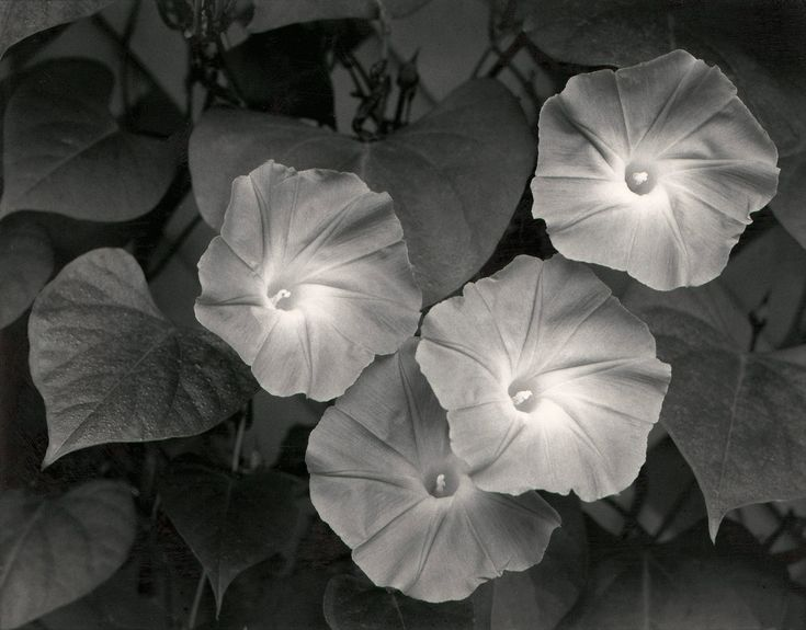 Morning Glories  photo by Ansel Adams; Massachusetts, 1958