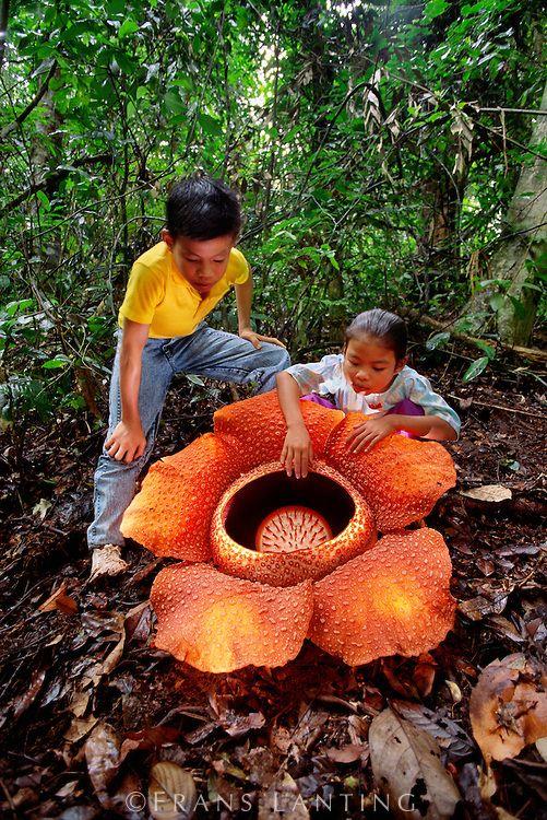 "The biggest flower on the earth ""Rafflesia"" (Botanical Garden Bogor_WestJava_Indonesia)"