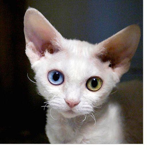 "5"" x 5"" Print, Odd Eyed Devon Rex Kitten, Cute Pet Portrait, Blue, Green, Pink, White, Square, Fine Art Photography by Glennis Siverson"