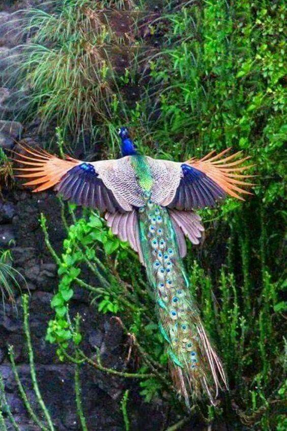 Flying peacock. Photo by Rainforest Site | Birds | Birds ...