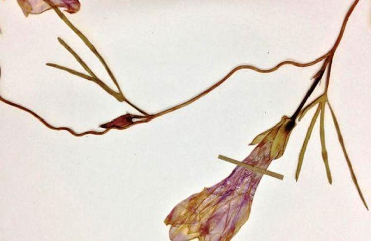 493 anos após descobrimento do Pantanal, pesquisadores encontram nova espécie de planta exclusiva do bioma
