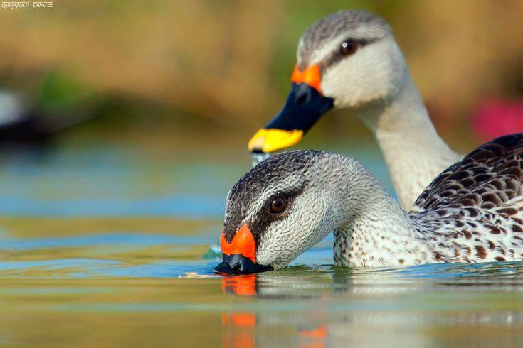Spot-billed Duck - Gujarat . Satyam Dave Rajkot