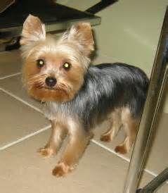 Teddy Bear Yorkie Haircut Bing Images Yorkie Dogs