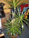 CUIDADOS (Dracaena marginata)