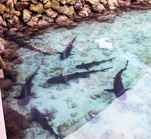 Captive reef sharks in a pool on Pulau Menjangan Besar. -- Photos by Peter Milne