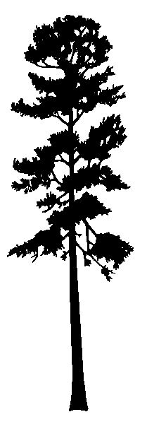 THERE we go... that's the shape I usually see. - Ponderosa Pine Silhouette