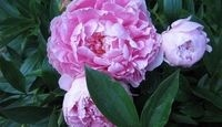 ThanksGrowing peonies in the south States that fall in Hardiness Zones 7 and 8 include the southern states, such as Georgia, Virginia, North Carolina, Florida, Tennessee, Mis and Texas, as well as states in the southwest, such as New Mex, Arizona,California and parts of Utah and Nevada. Gardeners in warm climates grow tree peonies ((Paeonia suffruticosa) as well as garden peonies. The challenge for these gardeners is providing peonies with adequate winter chilling to bloom successfully in…