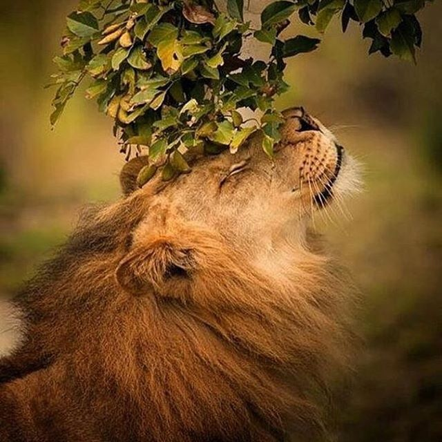 🦁How would you caption this photo? 🦁 #lion #majestic