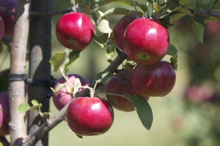 Juicy red apples  #applepicking