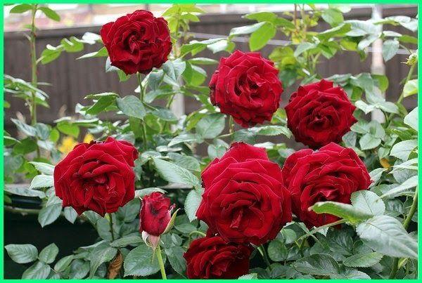 Terbaru 16 Bunga Mawar Warnanya Merah Bunga Melati Warnanya Putih Di 2020 Menanam Bunga Bunga Mawar Cantik