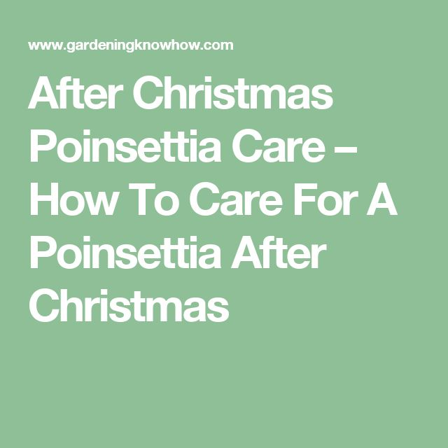 After Christmas Poinsettia Care How To Care For A